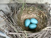 Robins Eggs 3