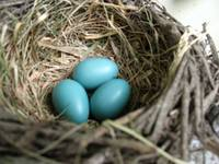 Robins Eggs 4