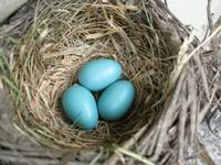 Robins Egg Nest 5