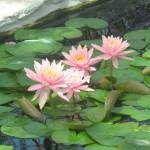 """Pink Water Lillies"" by Marieelizabeth"