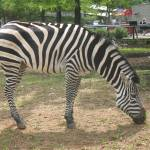 """Black and White Zebra"" by Marieelizabeth"