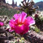 """Pink Cactus Flower in Sedona 1"" by MyHartArt"