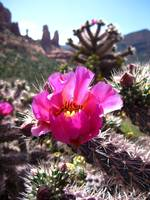Pink Cactus Flower in Sedona 1