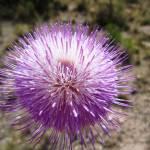 """""""Purple Pom Pom 2"""" by MyHartArt"""