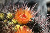 Orange Barrel Cactus Flower 1
