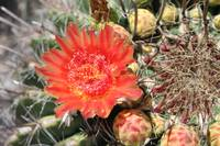 Red Barrel Cactus Flower 2