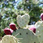 """Heart Shaped Prickly Pear Pad 1"" by MyHartArt"