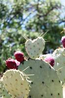 Heart Shaped Prickly Pear Pad 1