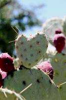 Heart Shaped Prickly Pear Pad 2