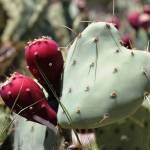 """Heart Shaped Prickly Pear Pad 3"" by MyHartArt"