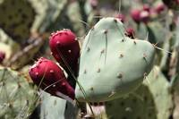 Heart Shaped Prickly Pear Pad 3