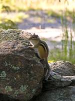 Morning Chipmunk I