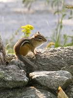 Morning Chipmunk II