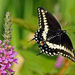 """Swallowtail in Flight"" by shelshots"
