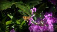Moth on a flower 1