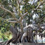 """Balboa Park Banyon Tree"" by thatsinteresting"