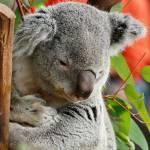 """San Diego Zoo Koala"" by thatsinteresting"