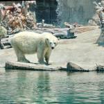 """Polar bear at San Diego Zoo"" by thatsinteresting"