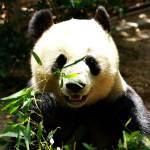 """Panda Bear at San Diego Zoo"" by thatsinteresting"