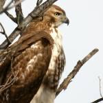 """""""Hawk"""" by Woakus"""