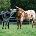"""""""Kissing Cows"""" by westwindranchcreations"""