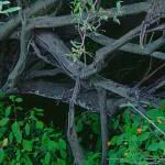 """""""Tree, Mangled"""" by bleij50"""