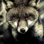 """""""Portrait of a fox"""" by alecrain"""