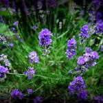 """Lavender"" by LBCPhotography"