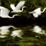 """Free Download: HERON FLIGHT- winded, rippling refl"" by Jimaustinjimages"