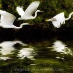 """Free Download: HERON FLIGHT- winded, rippling refl"" by Jimaustinjimages"