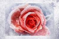 Frost and rose