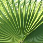 """fan palm"" by robinsmiller"