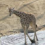 """""""baby giraffe"""" by robinsmiller"""