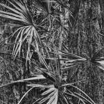 """Palmetto and Red Pines by Jim Crotty"" by jimcrotty"