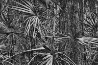 Palmetto and Red Pines by Jim Crotty