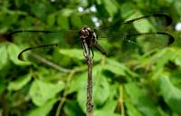 Transparent Dragonfly