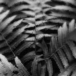 """Ferns in Black and White by Jim Crotty"" by jimcrotty"