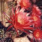"""Red Cereus Cactus"" by JoanneNetland"
