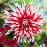"""Dahlia Flower, Red and White"" by staceylynnpayne"