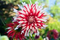 Dahlia Flower, Red and White