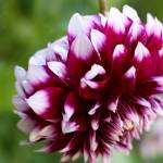 """Backyard Beauty_Dahlia"" by SBCountyImages"