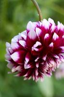 Backyard Beauty_Dahlia