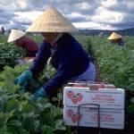 """Strawberry Harvest"" by rik"