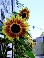 Sunflowers with French Flavor