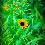 """""""edited sunflower_3"""" by wchild22"""
