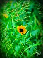edited sunflower_3