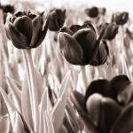 """tulip I"" by TS_Guichard_FineArtImages"
