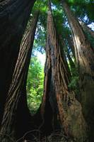 Muir Woods (tall trees) 2