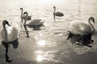 Elbe evening Swans I