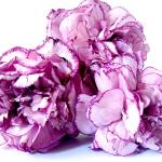 """Pink Carnations"" by Alvimann"